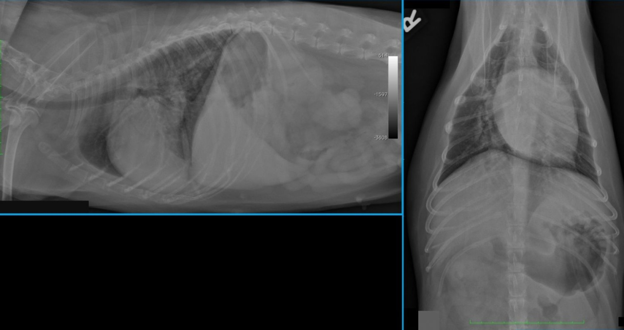 Case A case of malignant pulmonary and adrenal masses in a dog